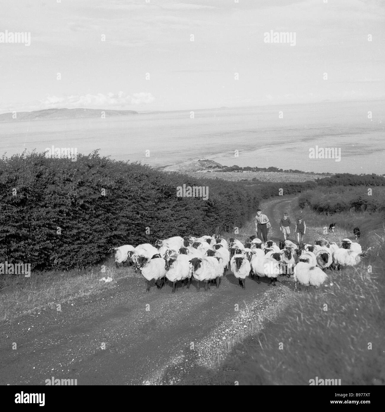Historical picture showing a farmer and two boys leading a flock of black headed sheep up a quiet country lane, - Stock Image
