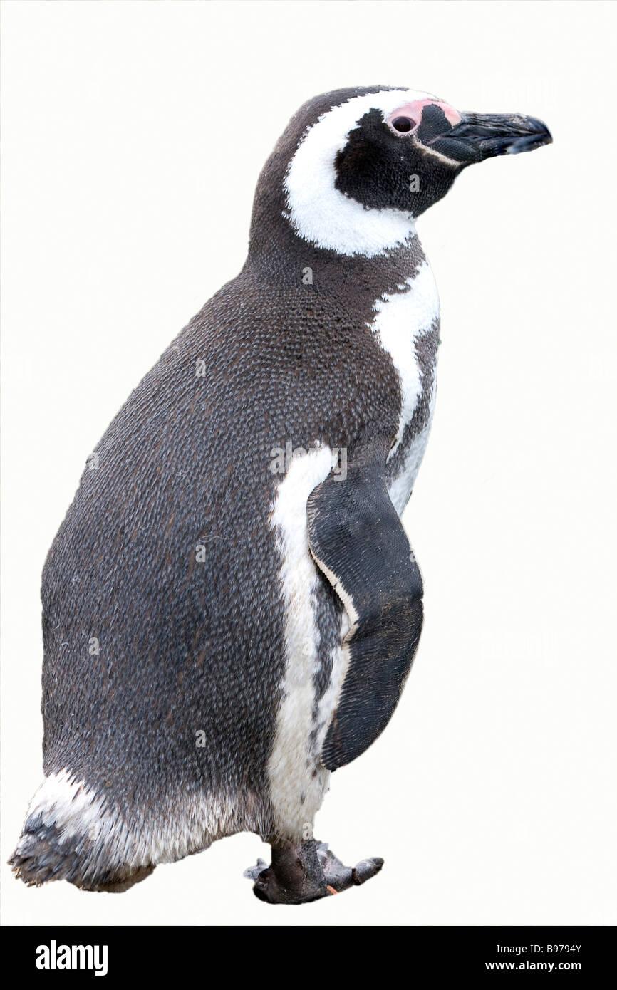 Magellanic Penguin Cutout Stock Photo 22903131