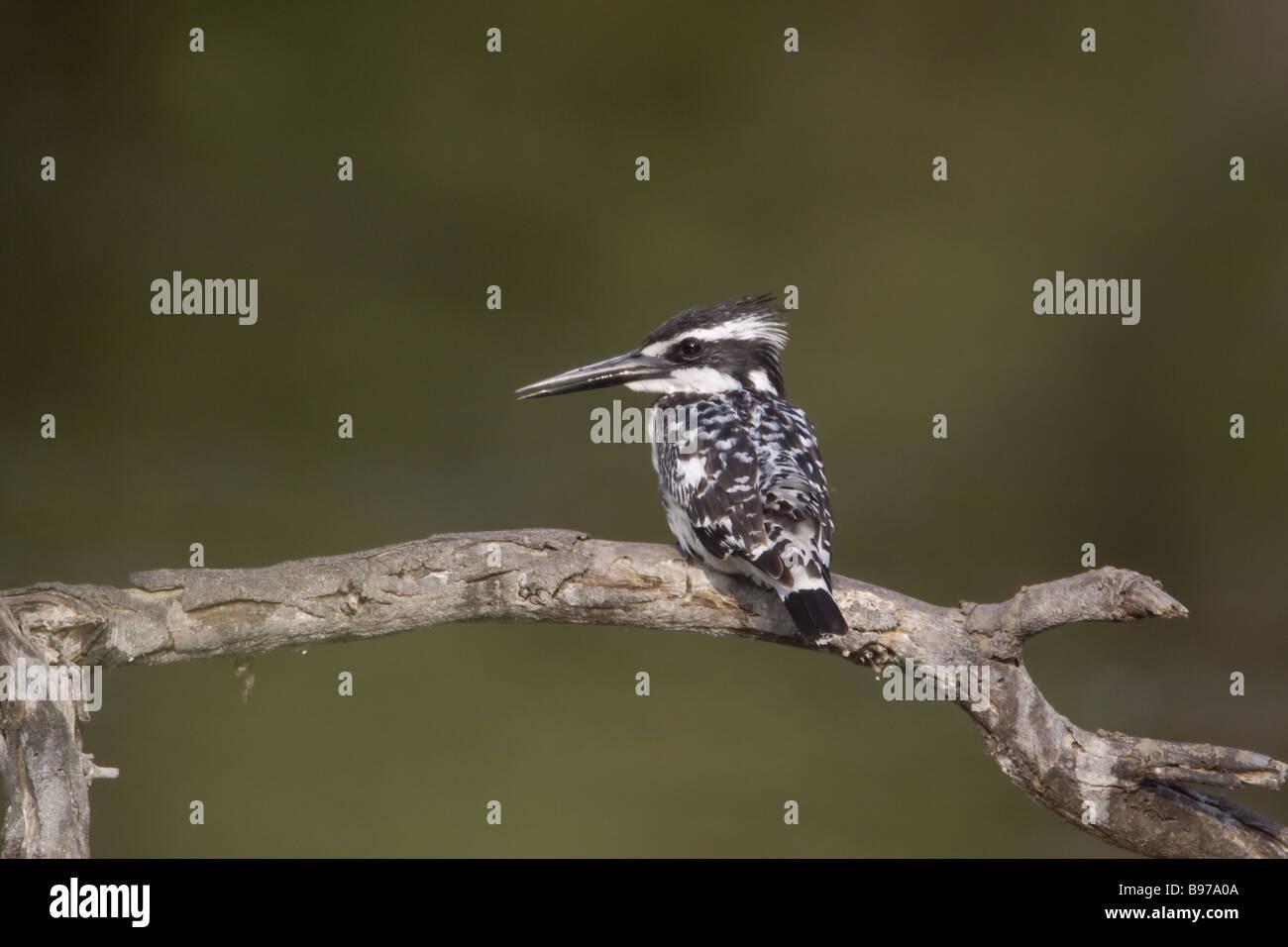 Pied Kingfisher Ceryle rudis Keoladeo Ghana National Park Bharatpur Rajasthan India BI018109 - Stock Image