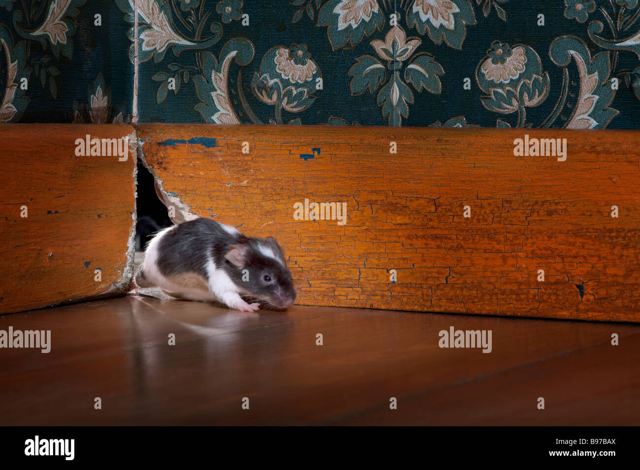 mouse coming out ot her hole in a luxury old fashioned room - Stock Image