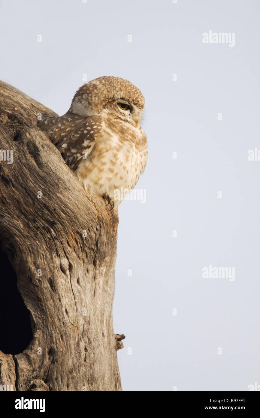 Spotted Owlet Athene brama Keoladeo Ghana National Park Bharatpur Rajasthan India BI018186 - Stock Image