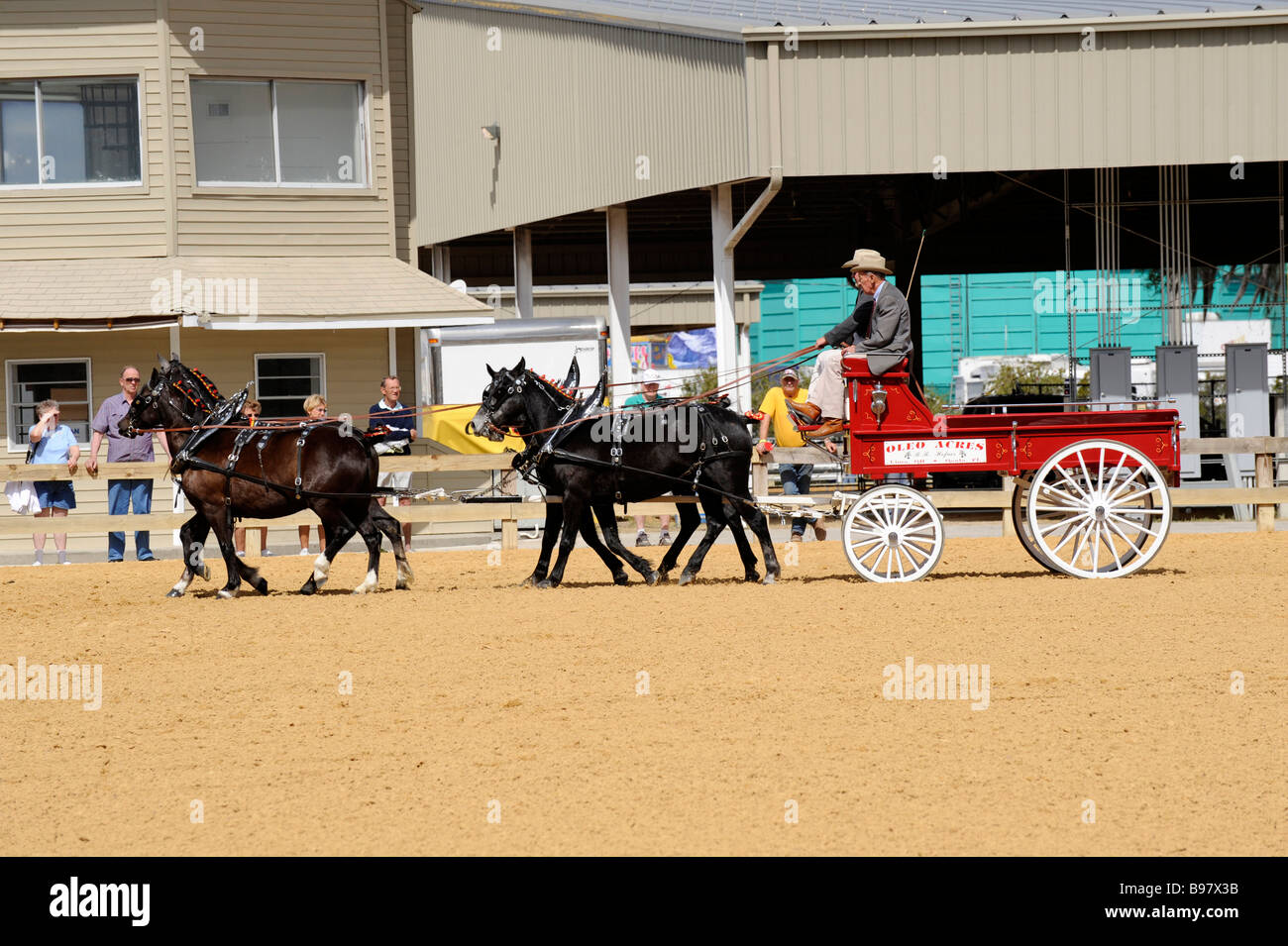 Draft for hitch horses at exhibition at Florida State Fairgrounds Tampa - Stock Image