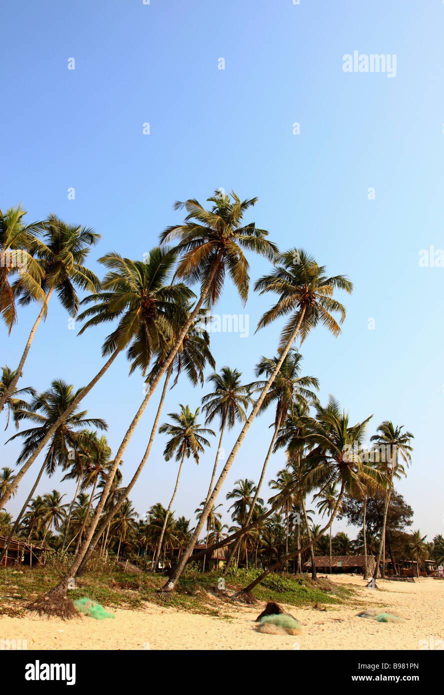 India Goa Colva beach coconut palm grove landscape - Stock Image