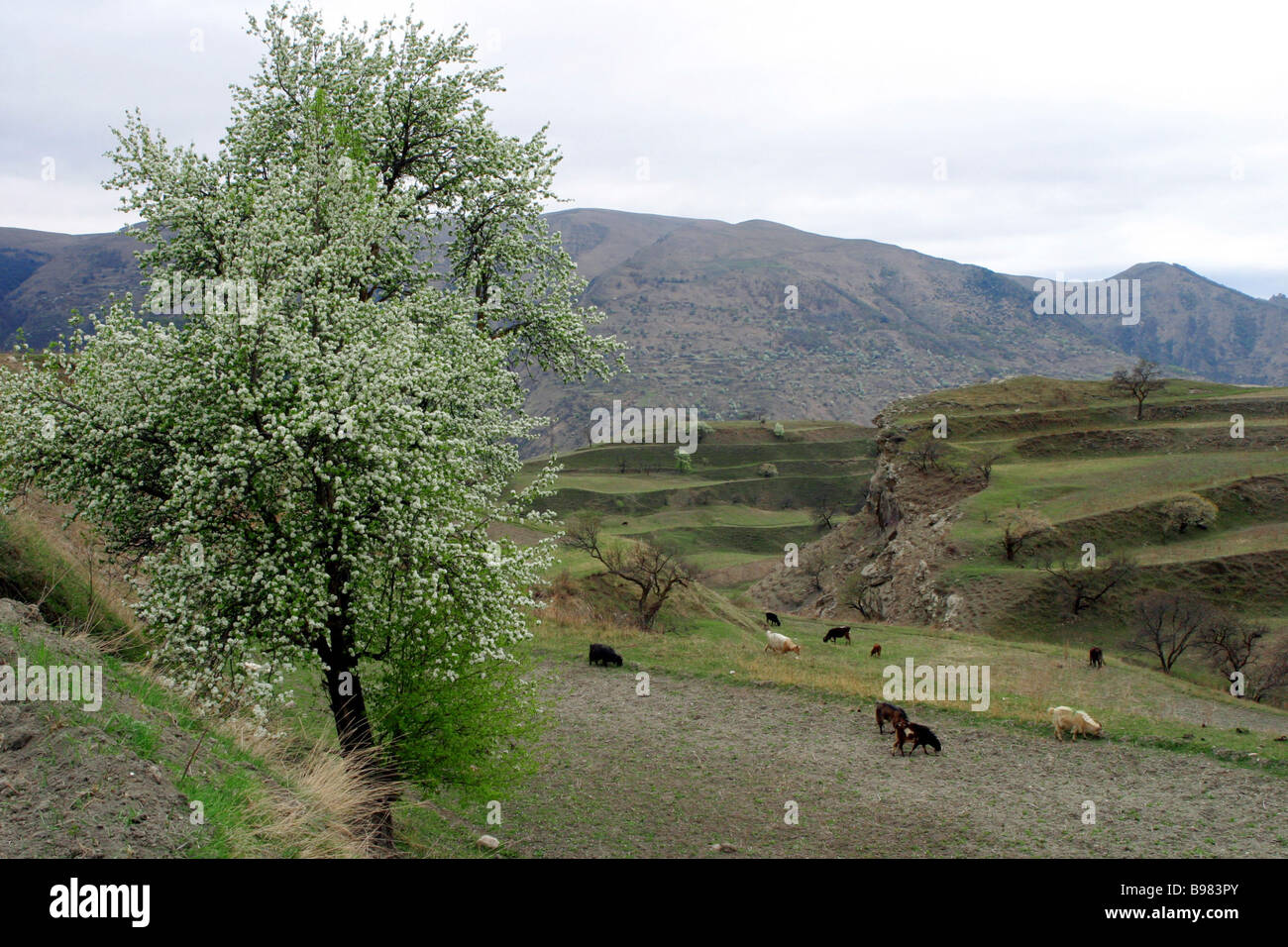 Pastureland in the Gunib District - Stock Image