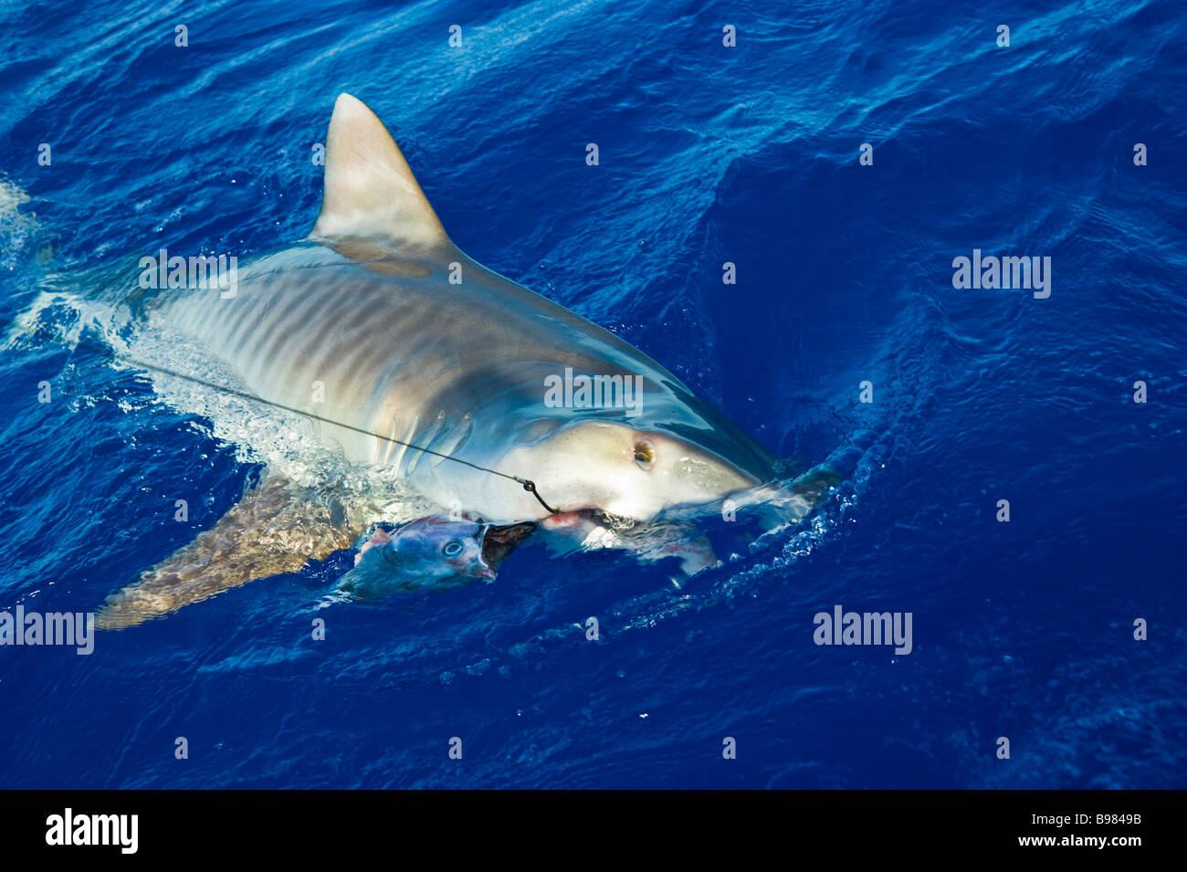 Catch of tiger shark big game fishing La Reunion France   Tigerhai, Fang am Haken, Hochseeangeln, La ReunionLa Réunion, Stock Photo