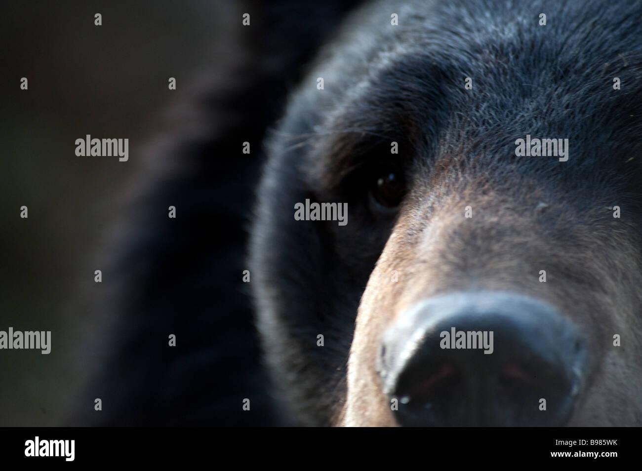 Captive Himalayan Black Bear Ursus thibetanus/Selenarctos thibetanus at The Padmaja Naidu Himalayan Zoological Park, - Stock Image