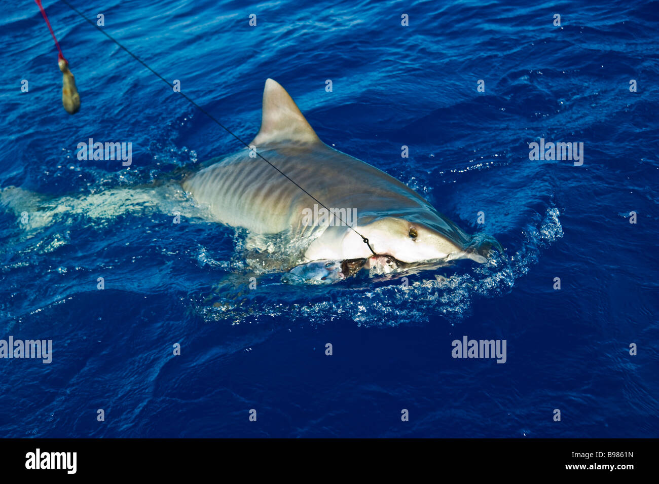 Catch of tiger shark big game fishing La Reunion France | Tigerhai, Fang am Haken, Hochseeangeln, La Reunion Stock Photo