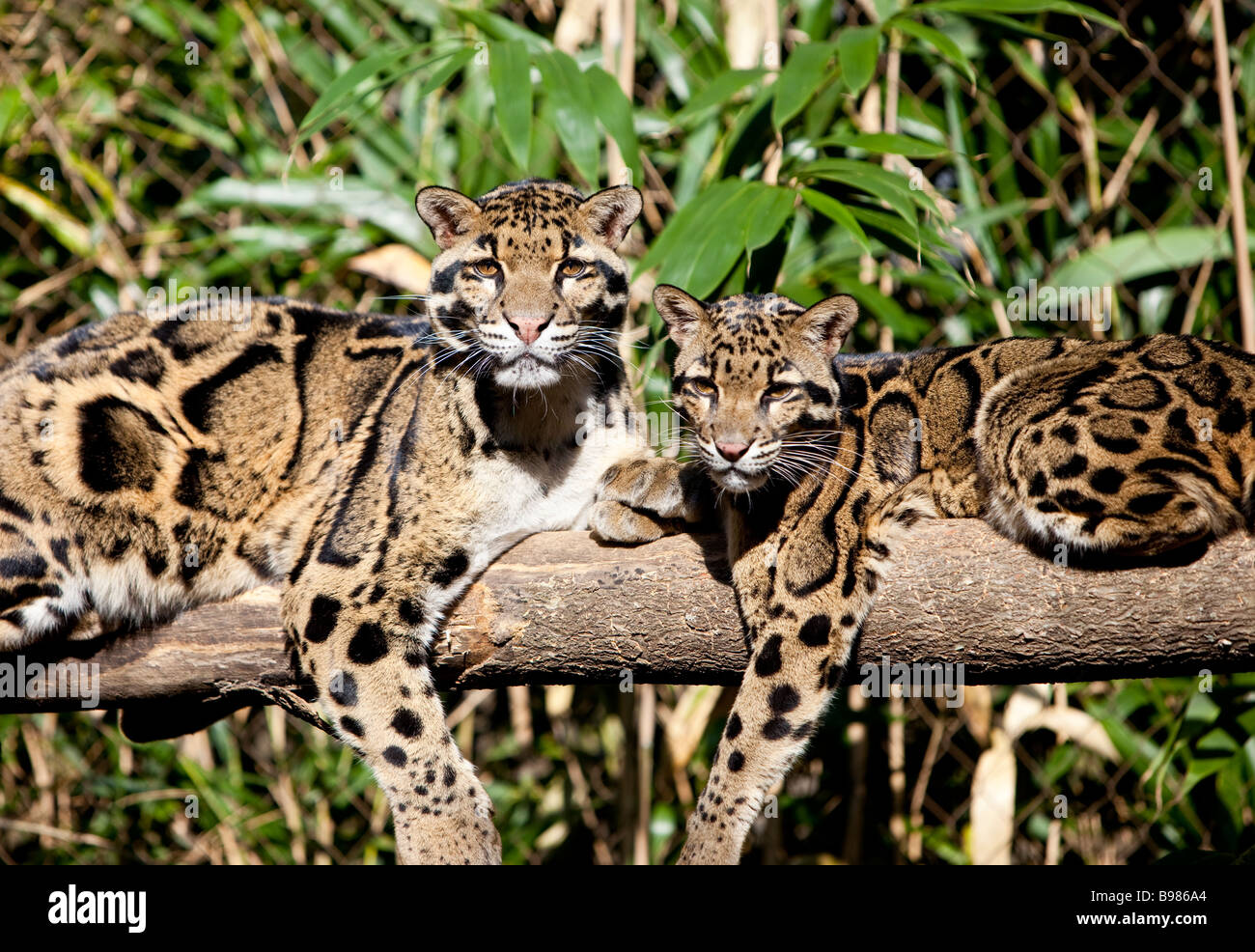 Clouded Leopards Neofelis nebuloso - Stock Image