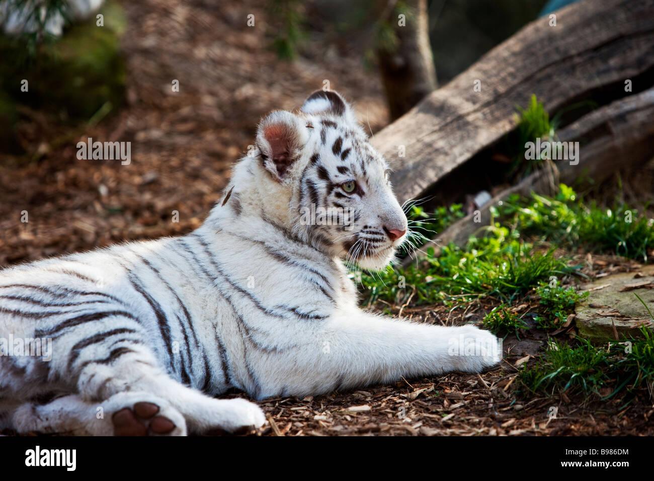 White Tiger Cub Panthera Tigris - Stock Image