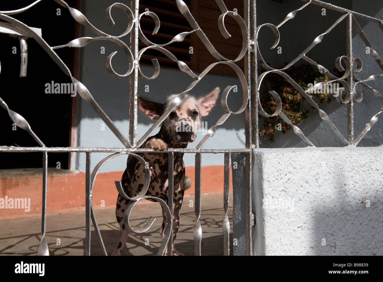 A hairless dog looking through fence in Trinidad, Cuba - Stock Image