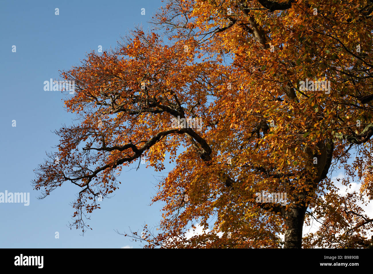 Autumnal colours of Beech tree, Fagus sylvatica, in the New Forest National Park in November Stock Photo