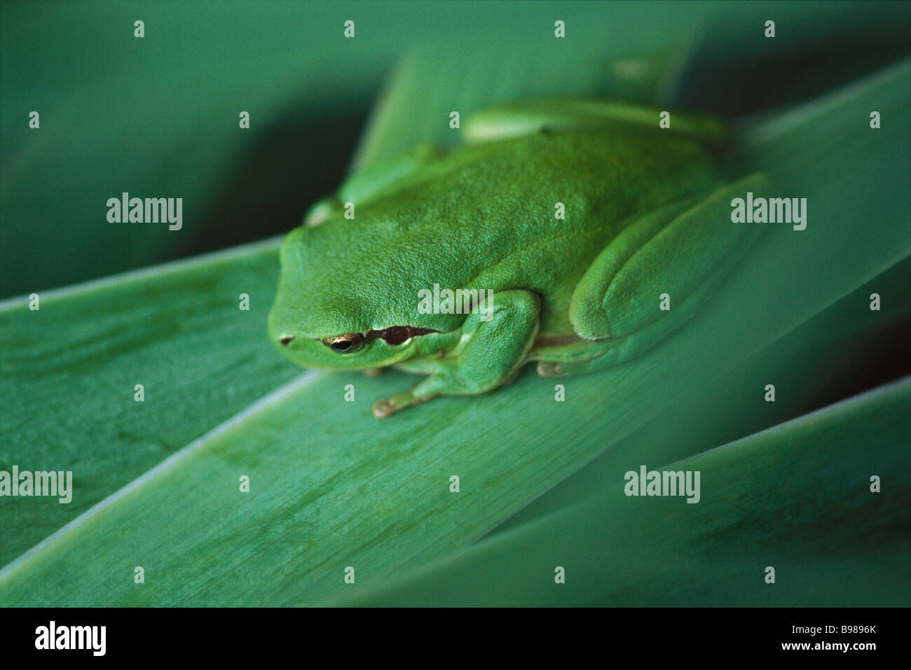 Mediterranean Tree Frog (Hyla meridionalis) - Stock Image