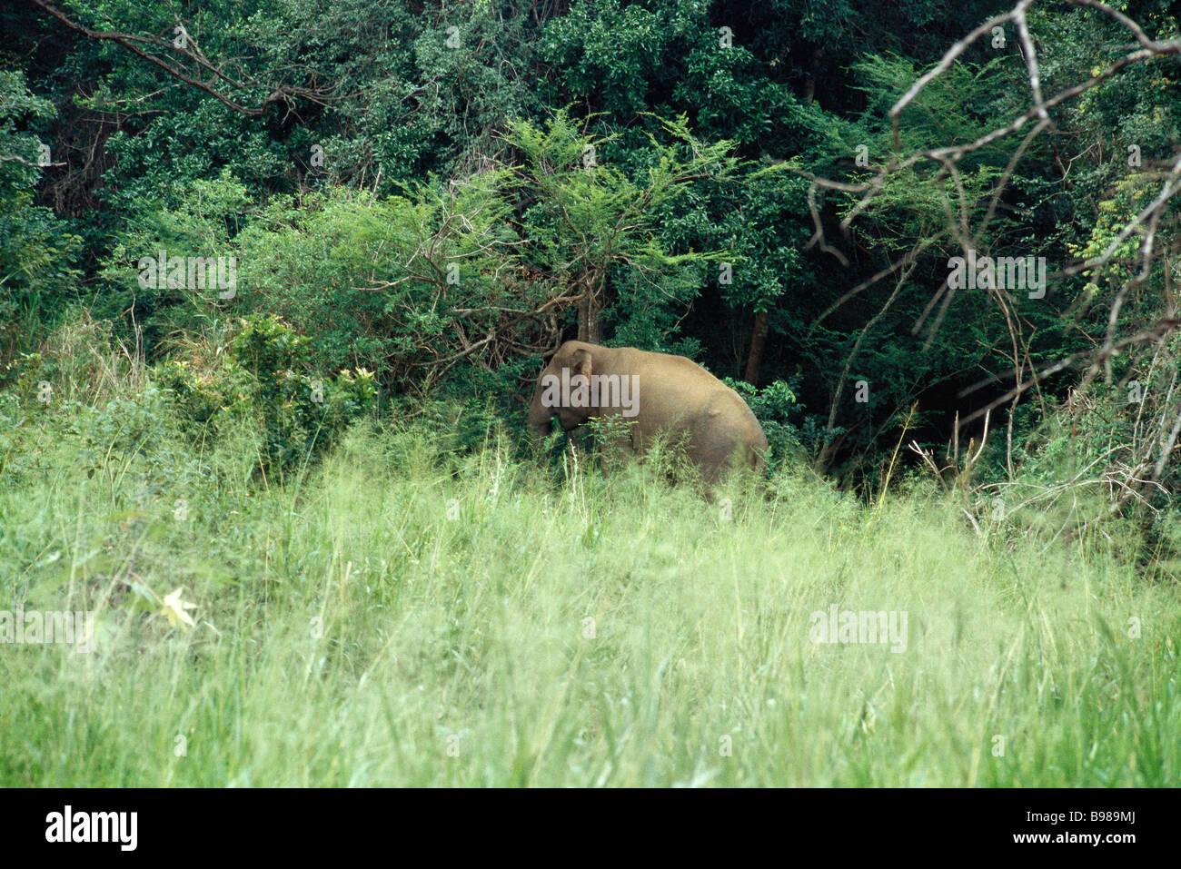 Sri Lankan Elephant grazing in forest meadow - Stock Image