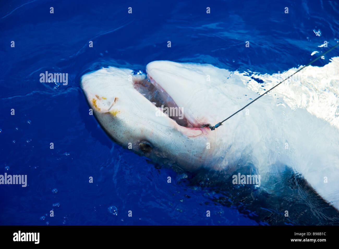 Catch of tiger shark big game fishing La Reunion France   Tigerhai, Fang am Haken, Hochseeangeln, La Reunion Stock Photo