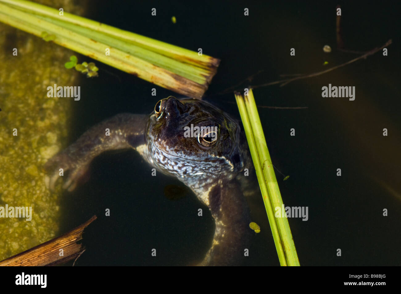 Common adult male frog emerging from a pond during mating. Stock Photo