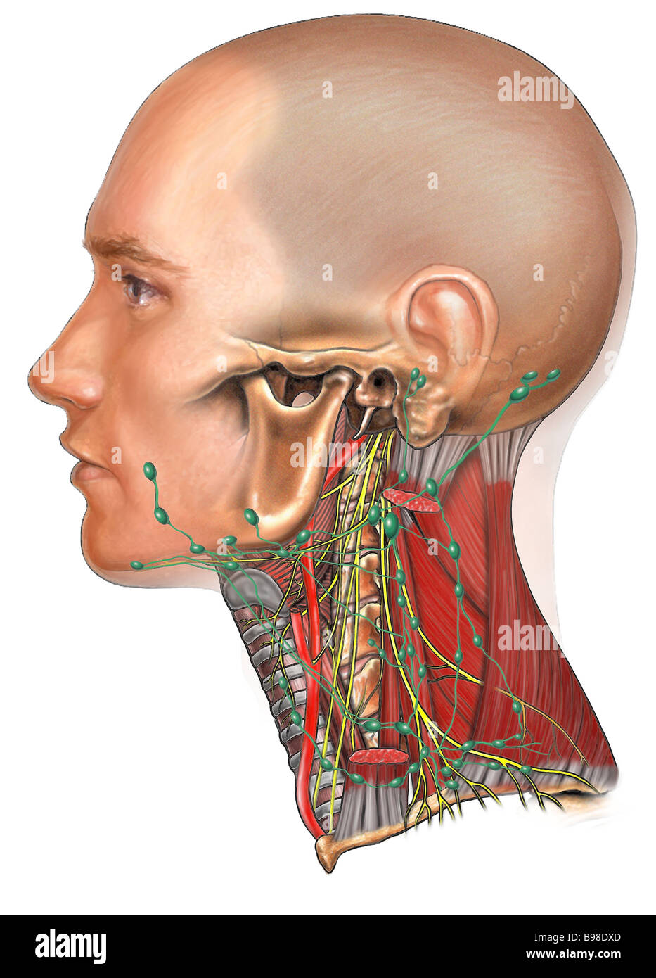 Lymph Nodes of the Head and Neck Stock Photo: 22928821 - Alamy