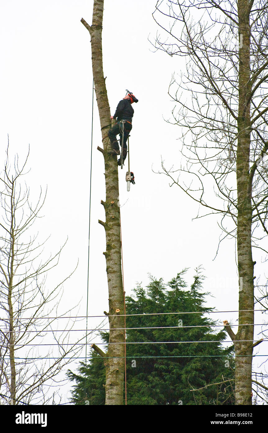 Lumberjack with chainsaw climbing a poplar tree during felling operation in Wiltshire - Stock Image