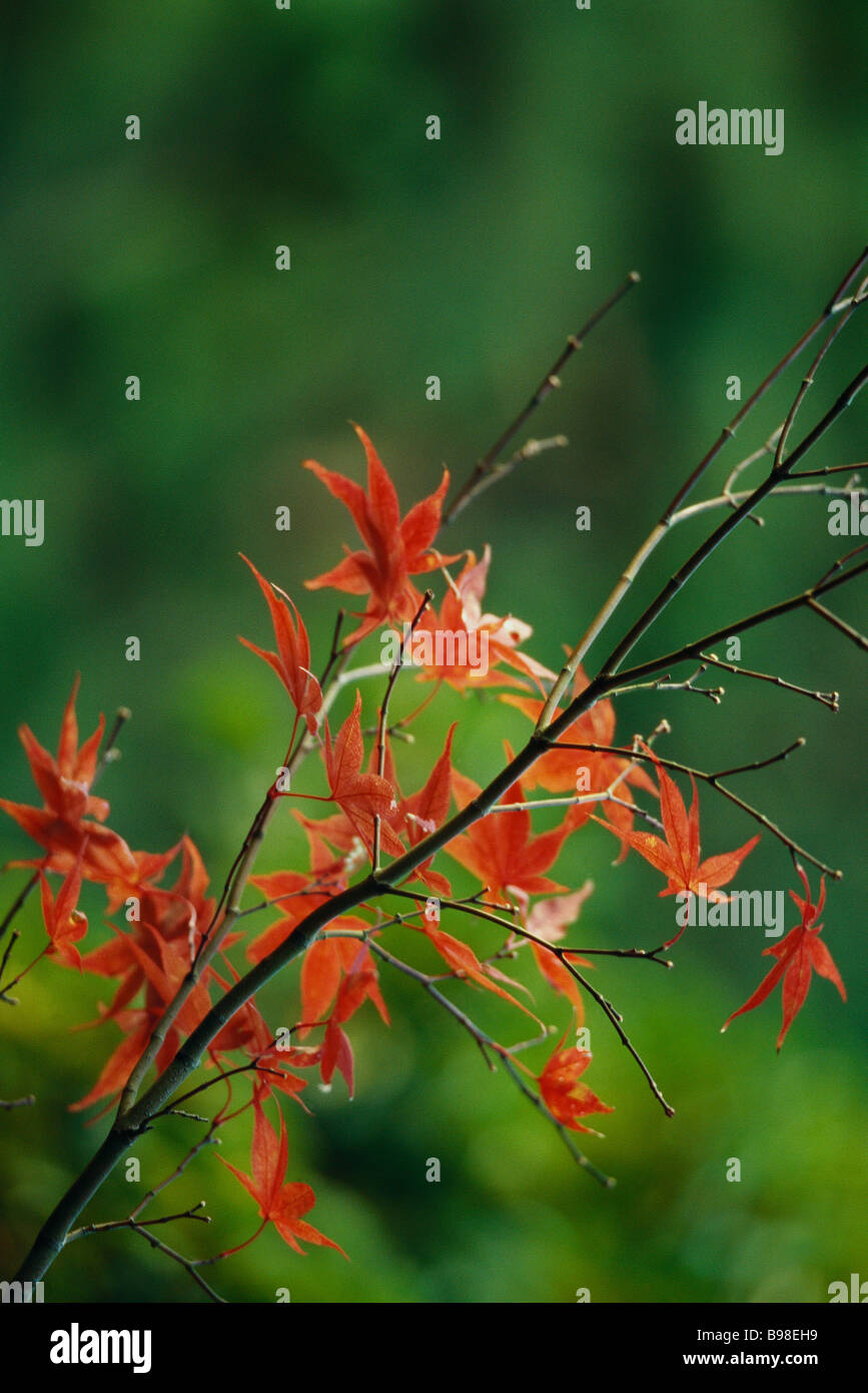 Autumnal leaves of Japanese Maple Stock Photo
