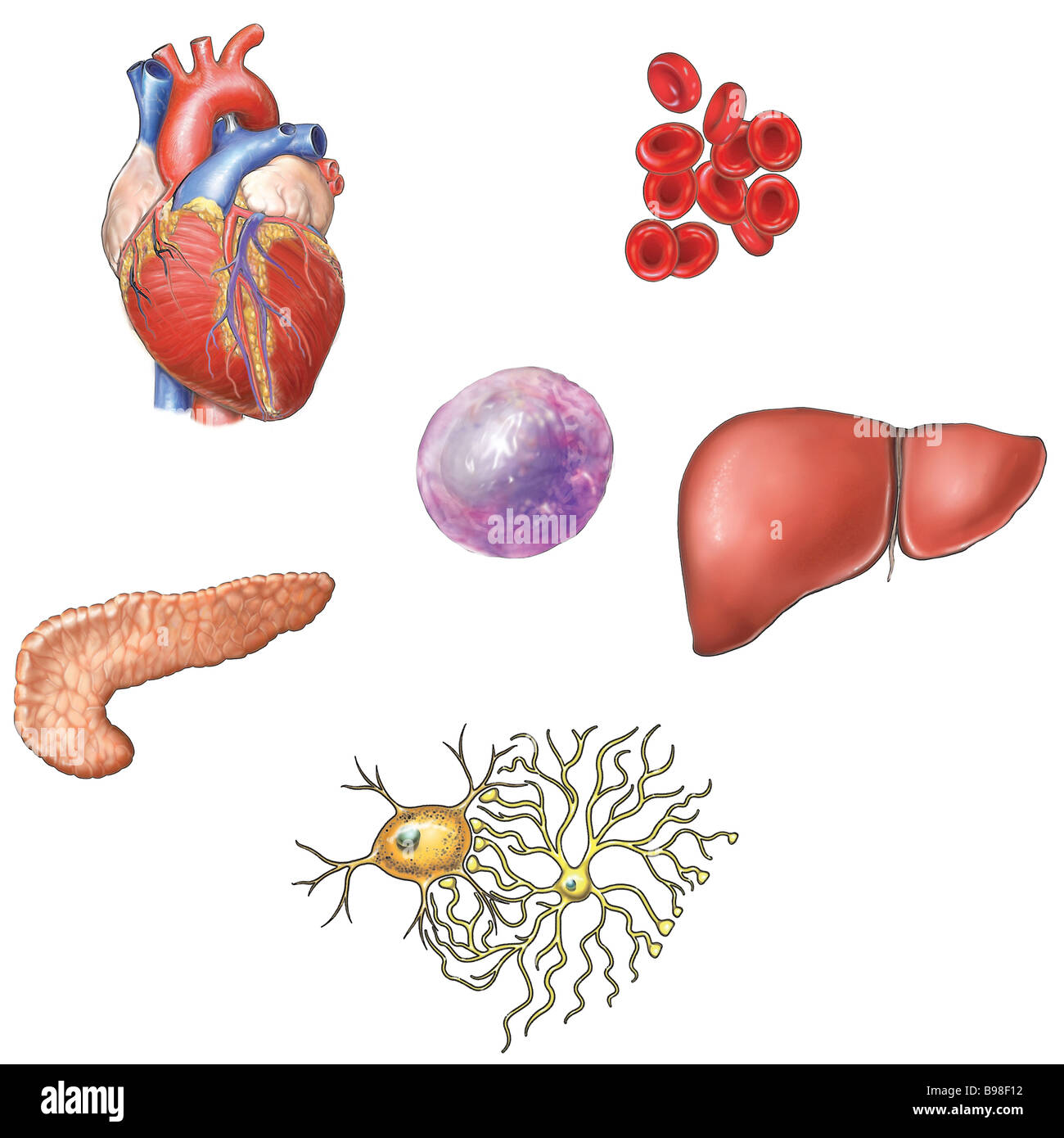 Stem Cell Research - Organs - Stock Image