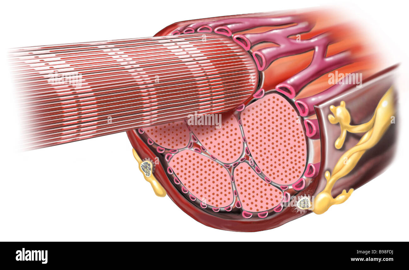 Sarcomere Stock Photos & Sarcomere Stock Images - Alamy