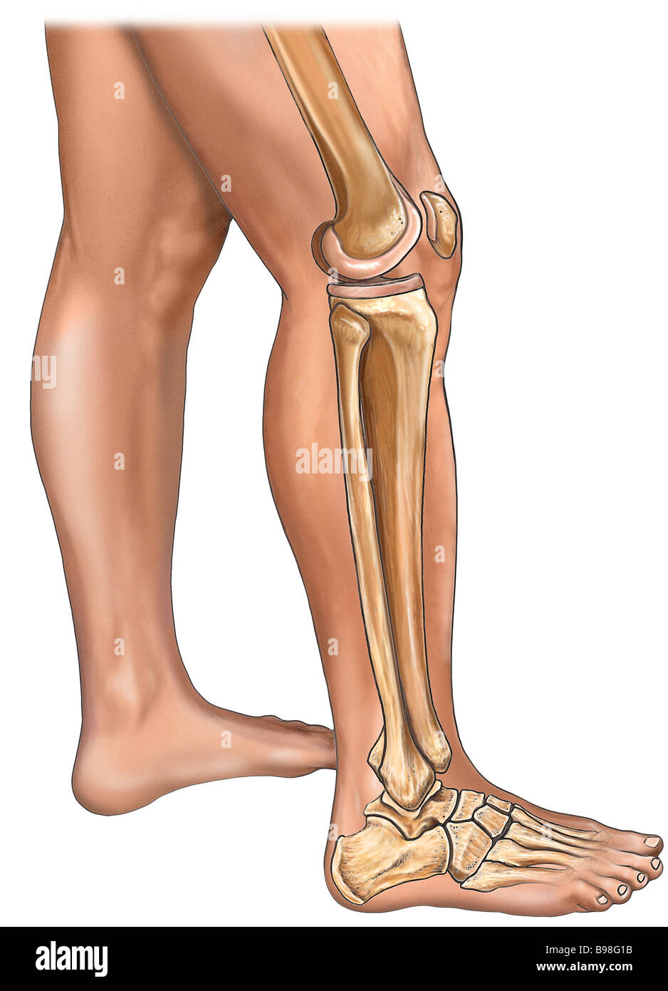 Bones Of The Leg Knee And Foot With Skin Lateral View Stock Photo