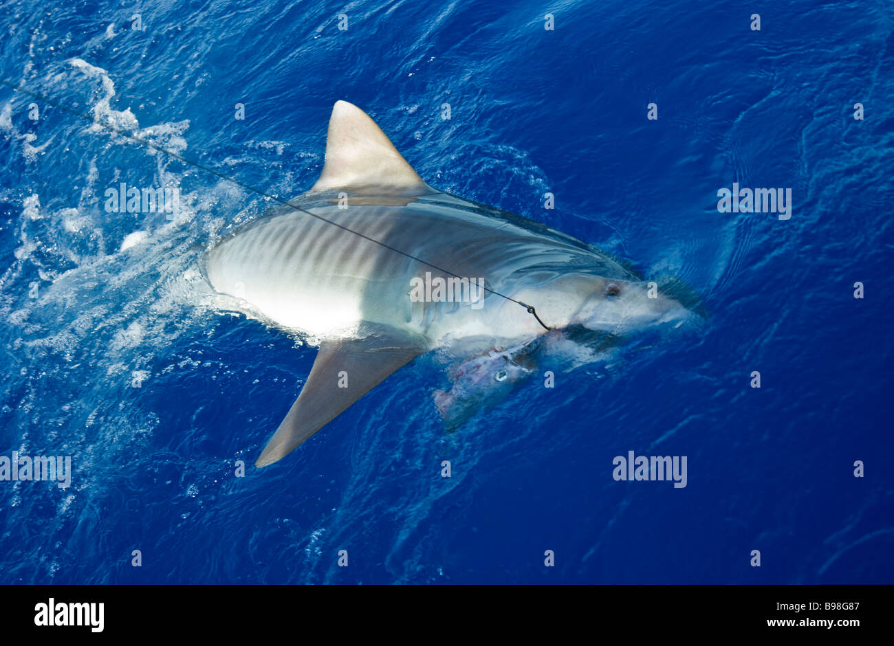 Catch of tiger shark big game fishing La Reunion France | Tigerhai, Fang am Haken, Hochseeangeln, La ReunionLa Réunion, Stock Photo