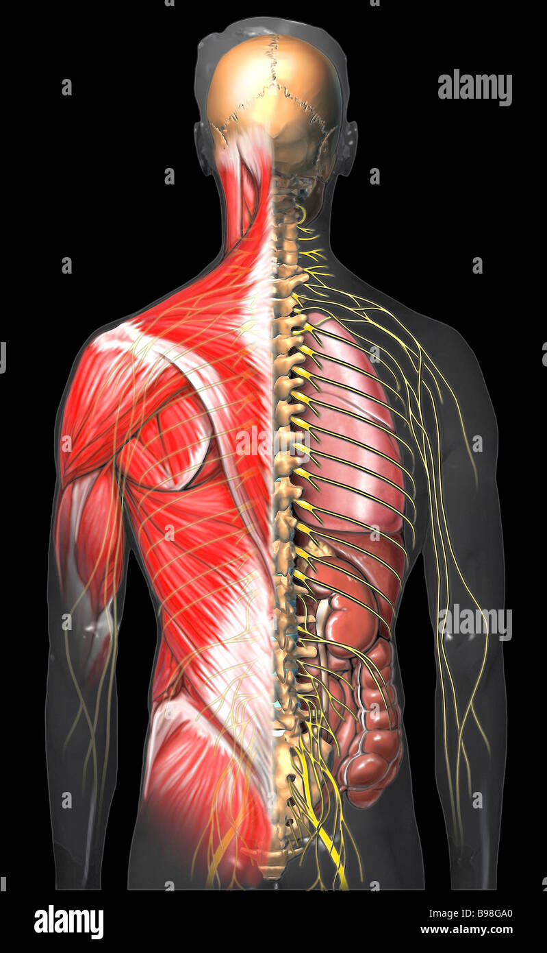 Male Torso with Muscles and Nerves: Posterior View Stock Photo ...
