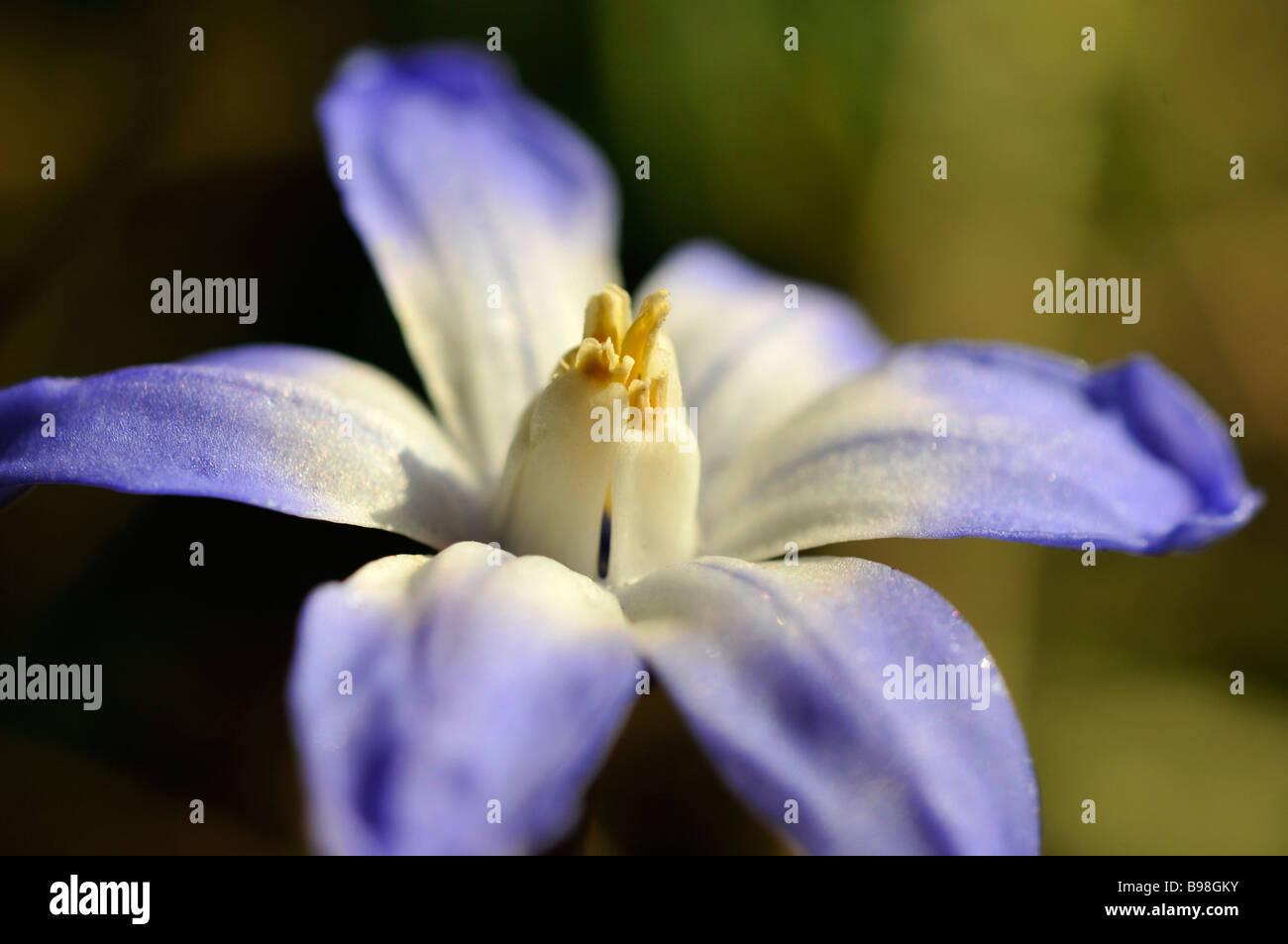 chionodoxa forbesii syn chionodoxa luciliae flower winter flower spring - Stock Image