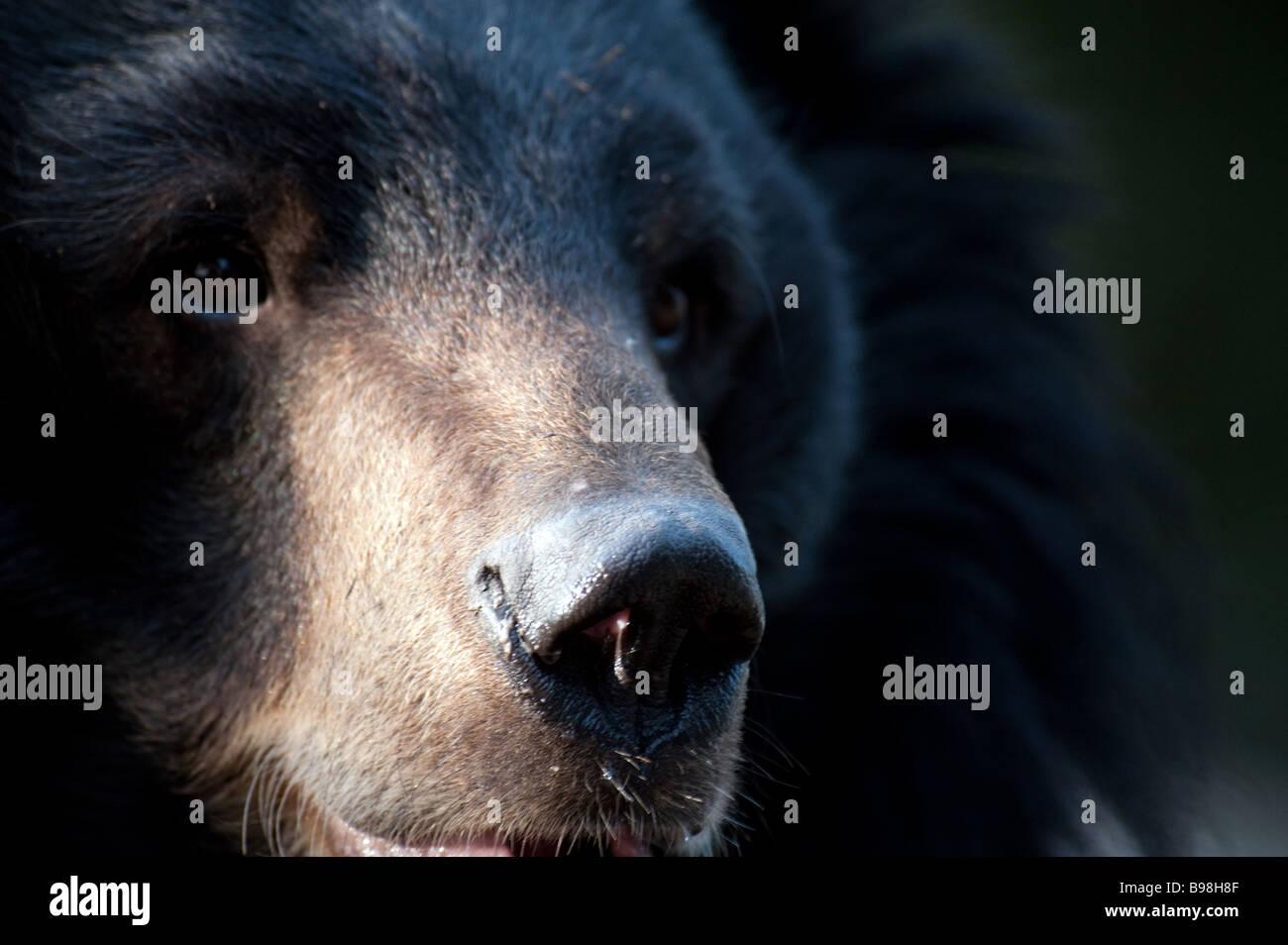 Captive Himalayan Black Bear Ursus thibetanus Selenarctos thibetanus at The Padmaja Naidu Himalayan Zoological Park, - Stock Image