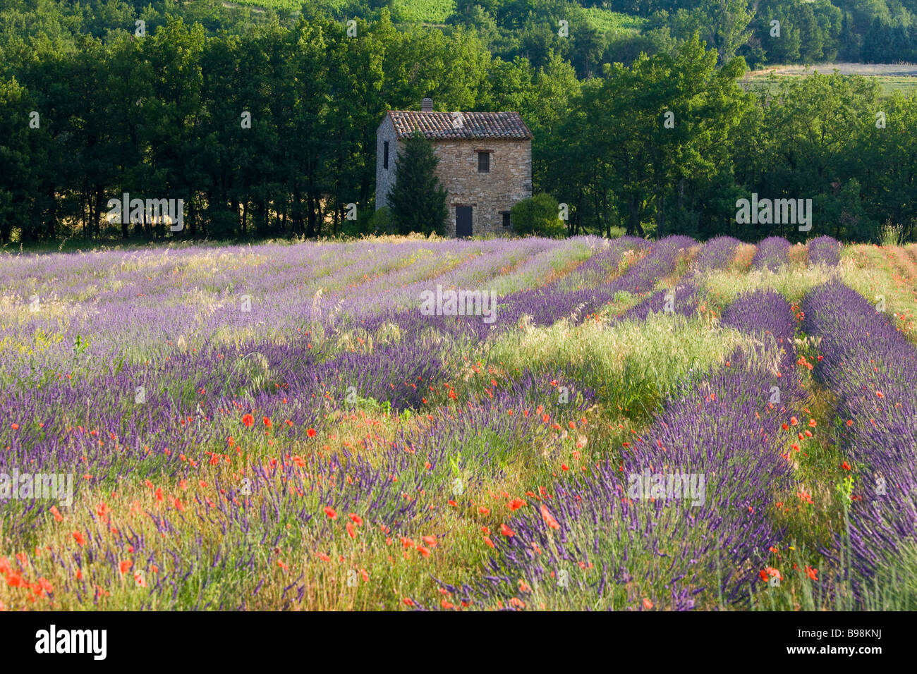 Lavender field The Luberon Provence France - Stock Image