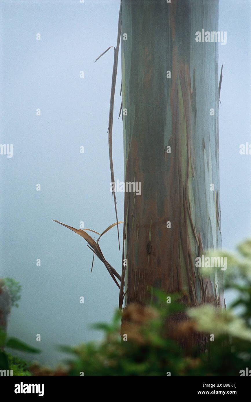 Mindanao Gum Tree (Eucalyptus deglupta), in mist - Stock Image