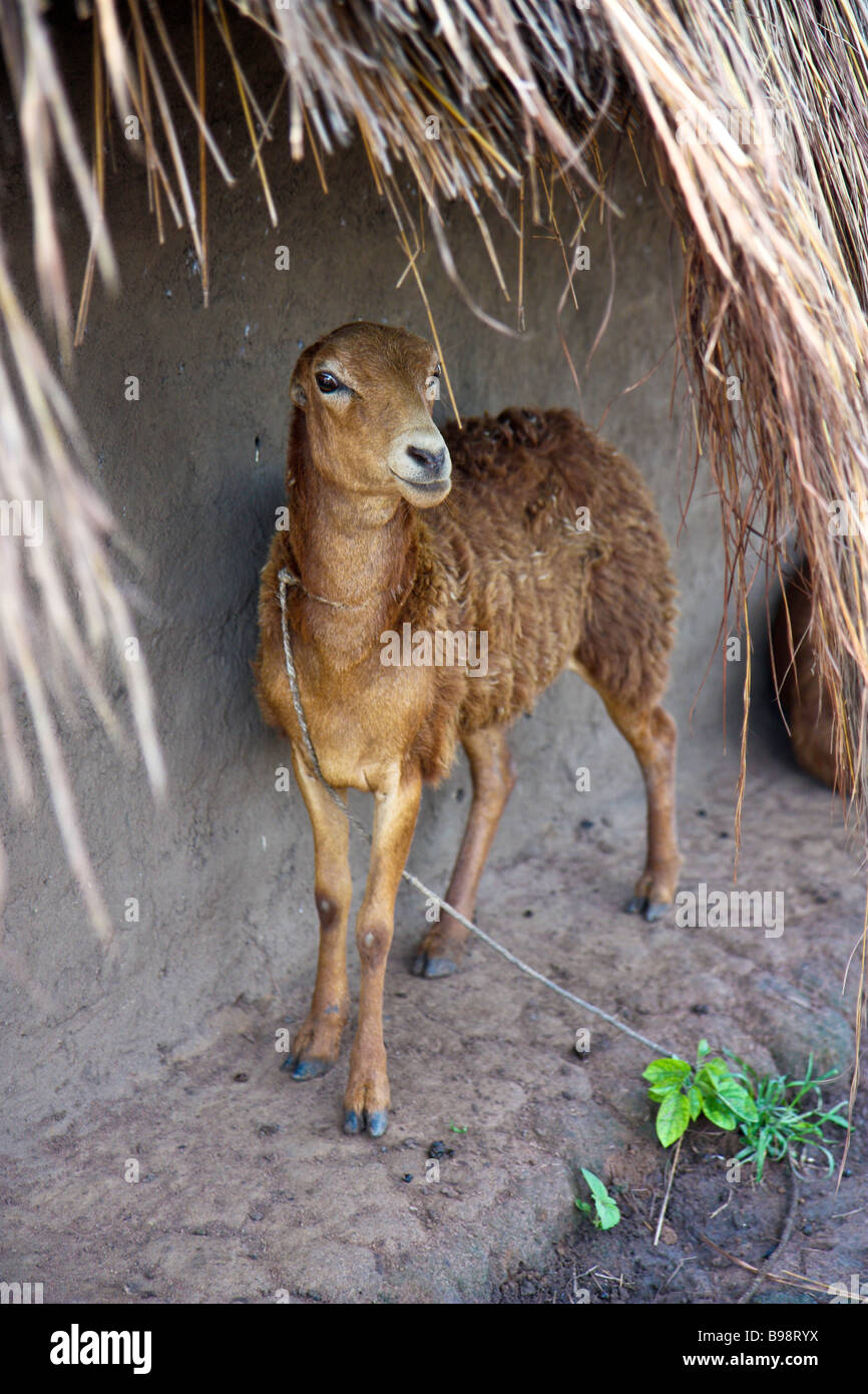 Goat cooling off in the shade of an eave of a Ugandan hut. Stock Photo
