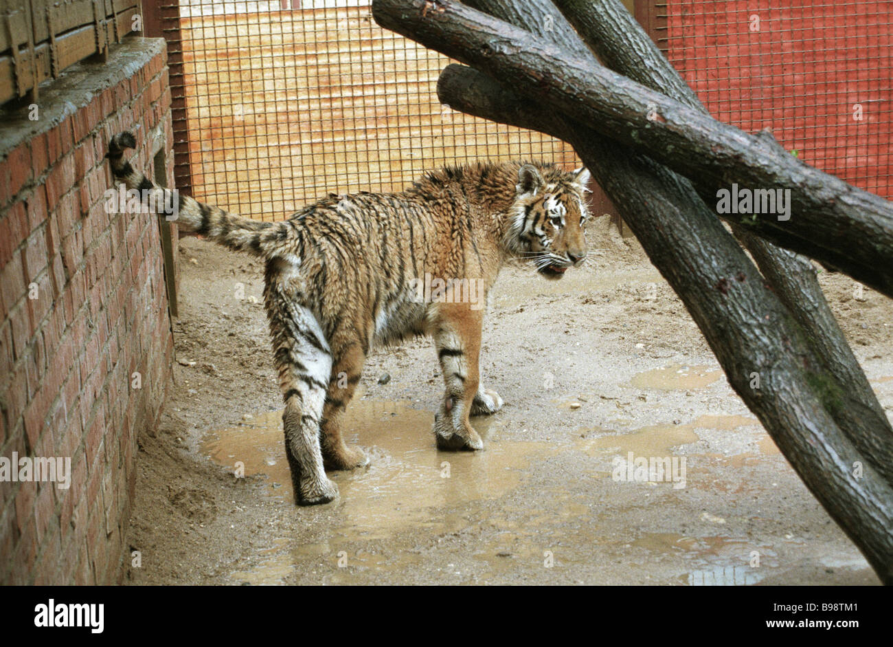 One year old tiger cub seized from photographers on the Stary Arbat street being rehabilitated in the Moscow zoo - Stock Image