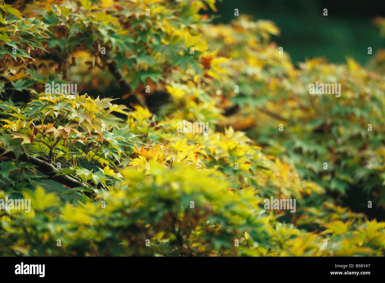 Lush leaves of Japanese Maple beginning their autumnal change from green to yellow Stock Photo