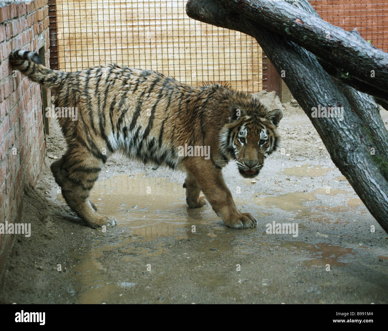 A one year old tiger cub confiscated from the photographers in Stary Arbat street recovering in the Moscow zoo nursery - Stock Image