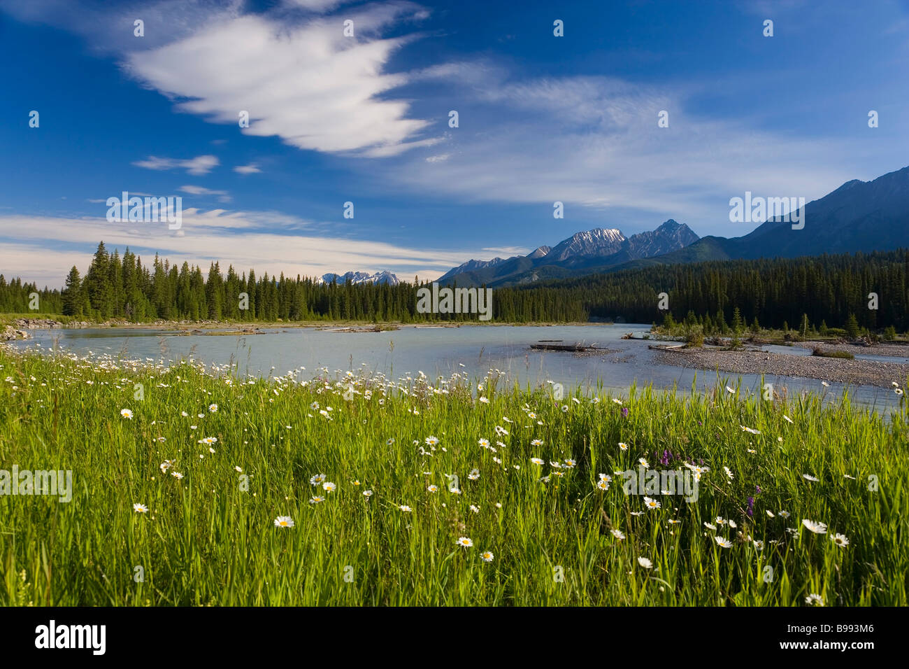 Wild Daisy's, Bellis Perennis L & The Rockies Kootenay National Park, British Colombia, Canada - Stock Image