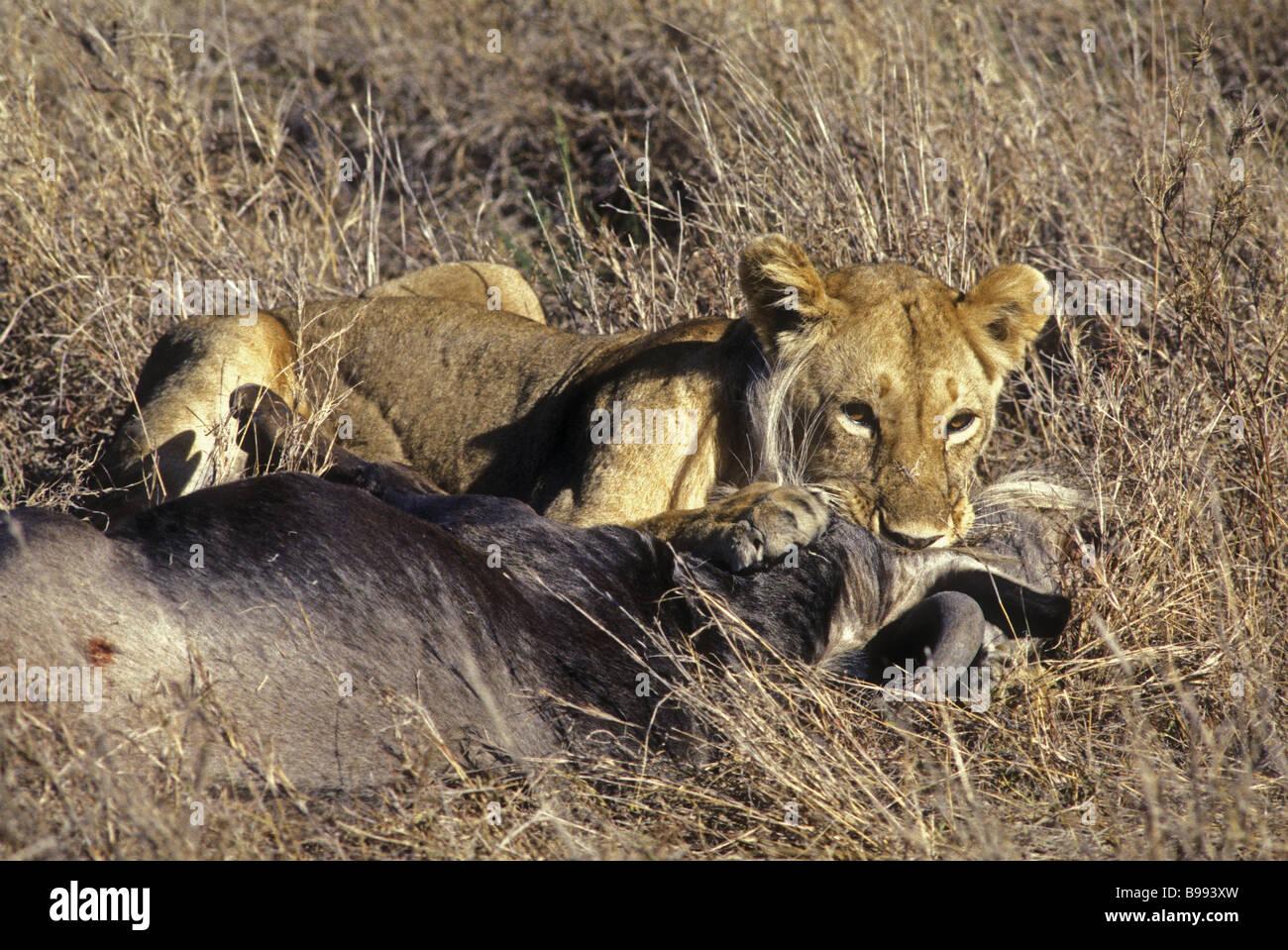 Lioness killing wildebeest Masai Mara National Reserve Kenya East Africa - Stock Image
