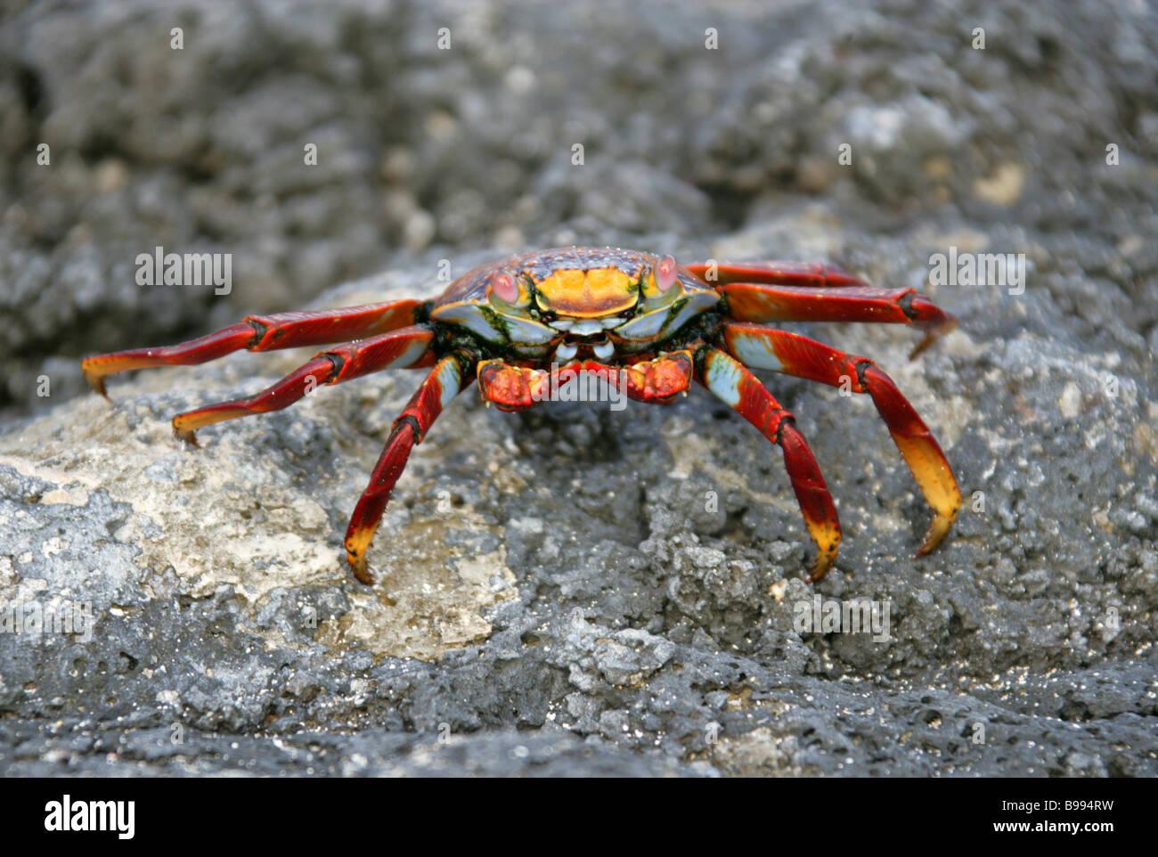 Sally Lightfoot Crab, Grapsus grapsus, San Cristobal Island, Galapagos Islands, Ecuador, South America - Stock Image