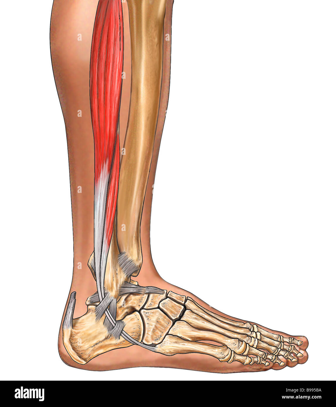 Fibularis Longus, Leg Muscle - Stock Image