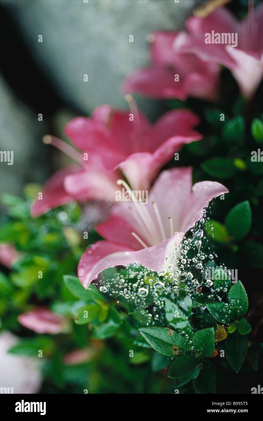Azalea blossoms - Stock Image