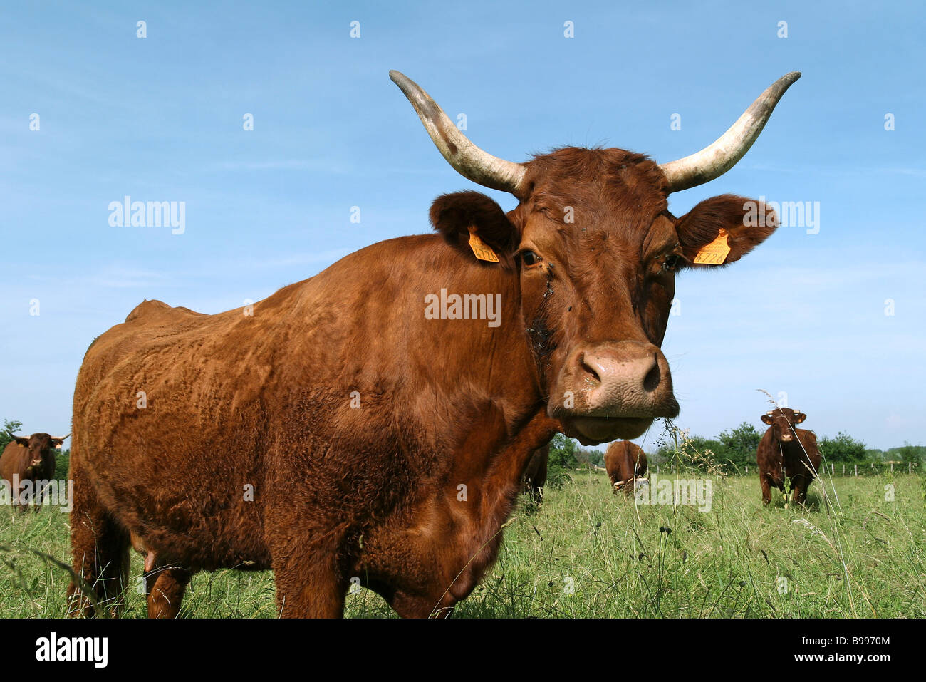 Dairy cow in pasture, portrait - Stock Image
