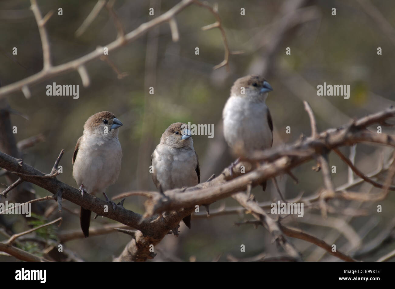 Three Indian Silverbills Lonchura malabarica sitting in a bush in Jaipur India - Stock Image