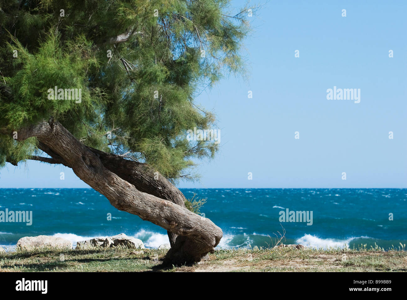 Twisted white pine tree growing on sea shore - Stock Image