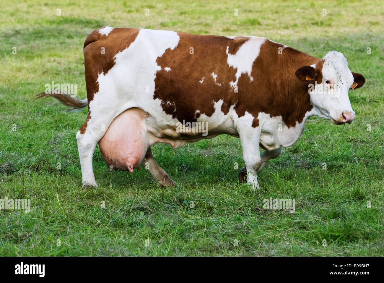 Montbeliard dairy cow, side view - Stock Image