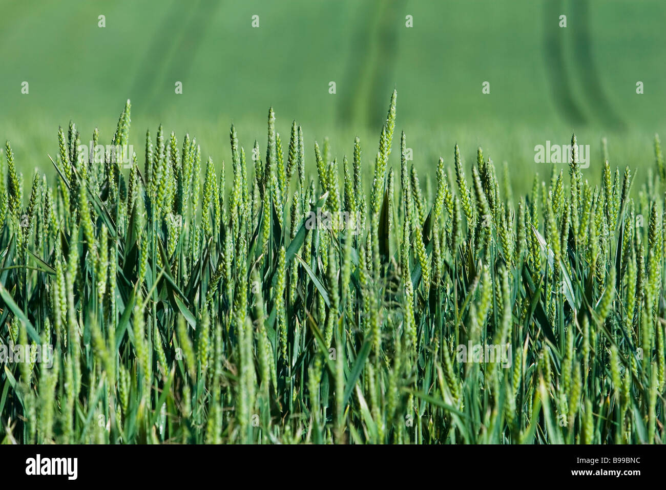Green wheat growing in field, close-up - Stock Image