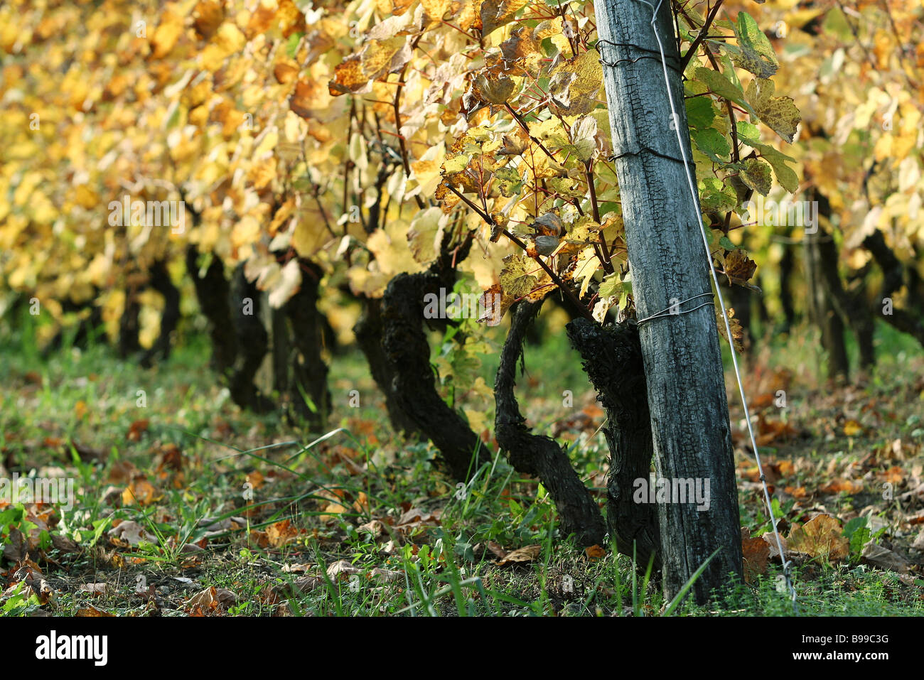 Grapevine supported by wooden stake, close-up - Stock Image