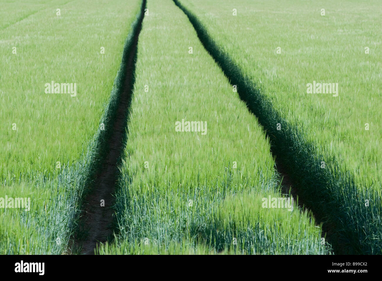Tracks through wheat field - Stock Image