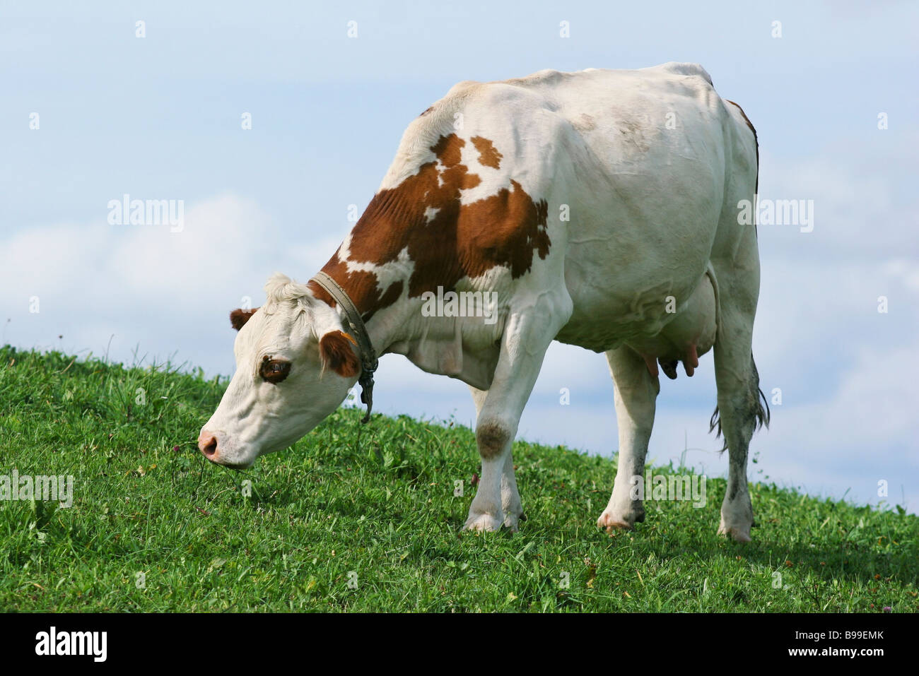 Dairy cow grazing in pasture, close-up - Stock Image