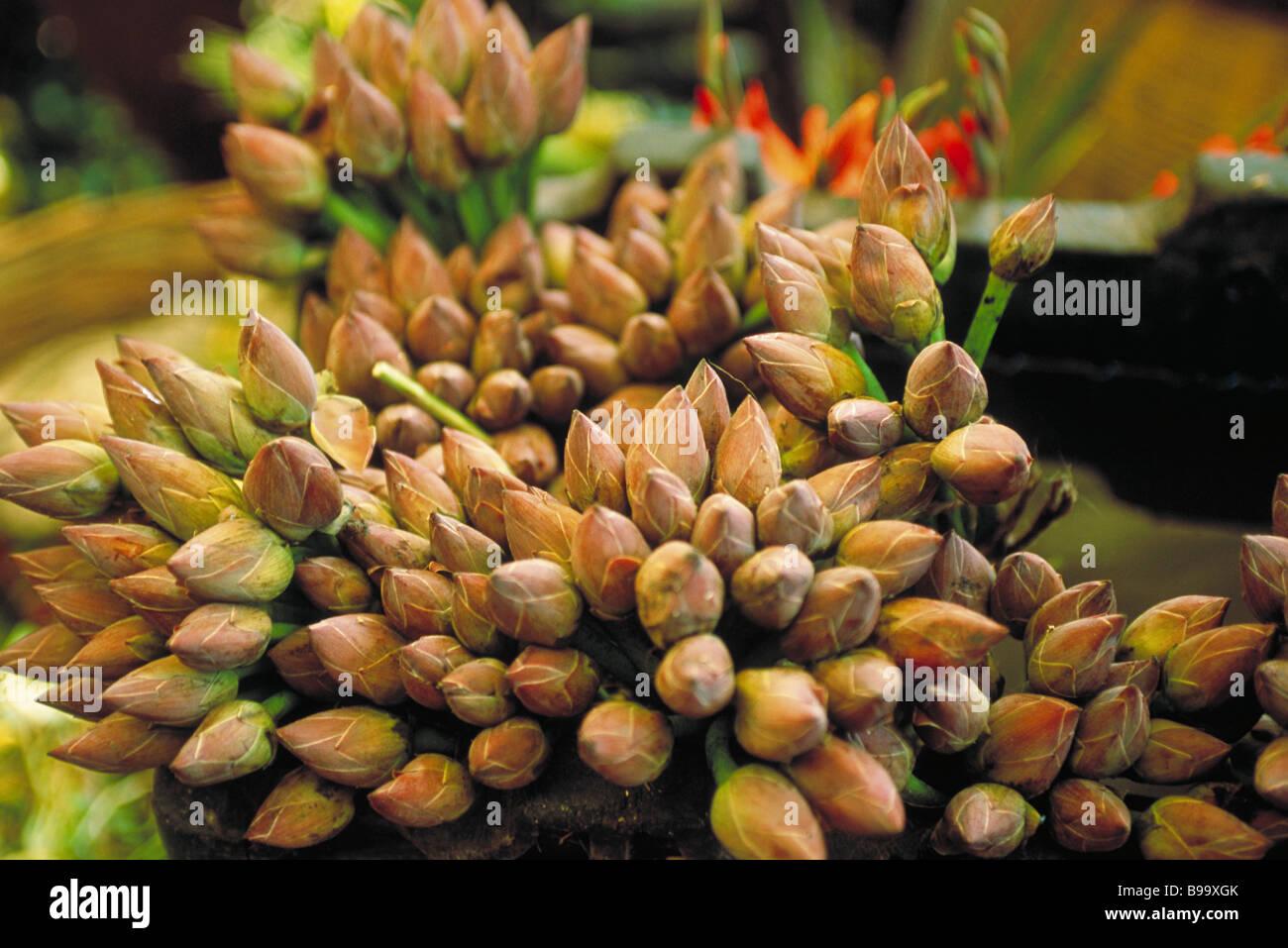 Lotus buds - Stock Image