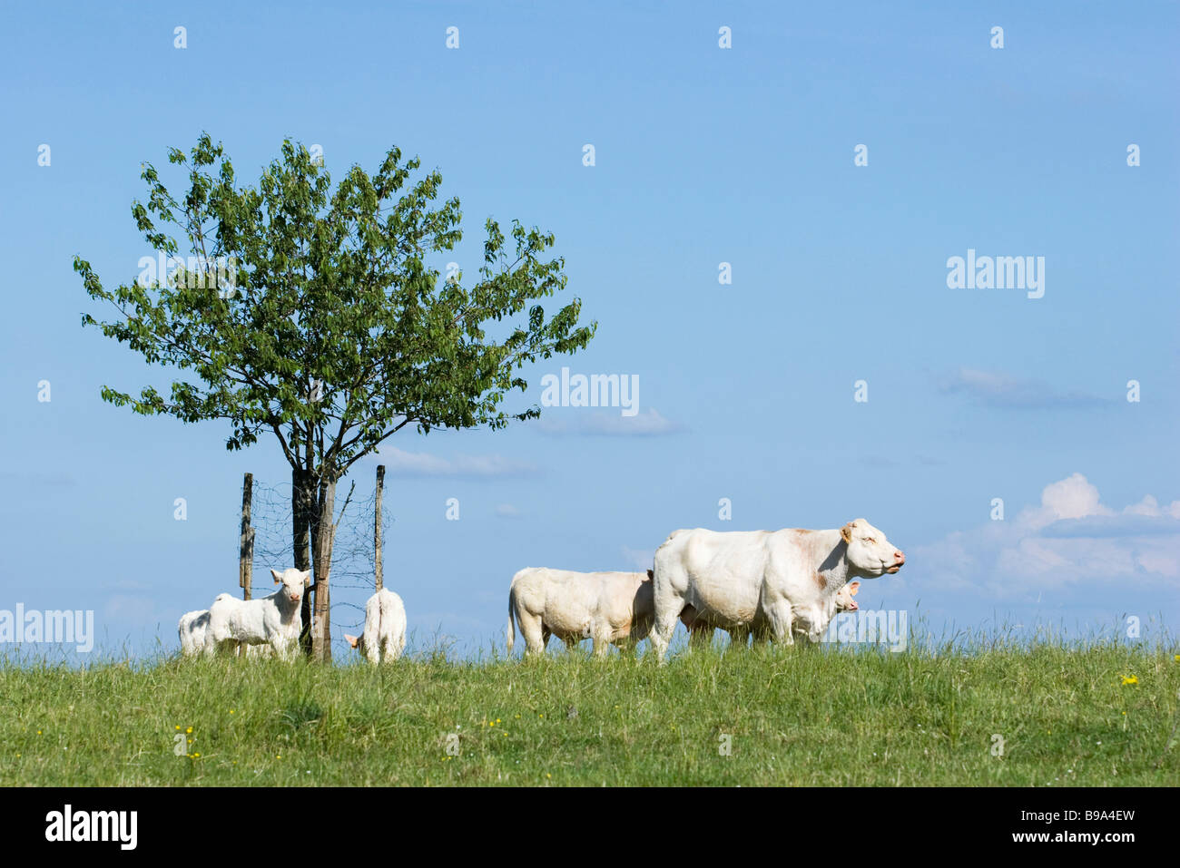 White cattle in pasture - Stock Image